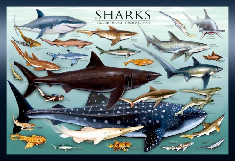Student hand-outs during a typical program session:  SHARKS