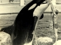 Photo taken of Dr. Mann's first-ever Killer Whale interaction at the Miami Seaquarium in Miami, FL on Friday June 26, 1970