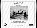 """L-58"" was named ""Sparky"" by the Whale Museum to honor Dr. Mann's given nickname in the game of Slow-Pitch Softball. ""L-58"" was born in 1980 and died in 2003. ""Sparky"" had a tall dorsal fin with a rounded tip and a slight wave in the middle. He was the first calf of ""Tanya"" L-5 and had a younger brother ""Flash"" L-73 born in 1985. They were a very tight group and were rarely seen apart. ""Sparky"" was frequently observed with teenage males from the Southern Resident community around him. Perhaps he was serving as a role model or ""big brother""."
