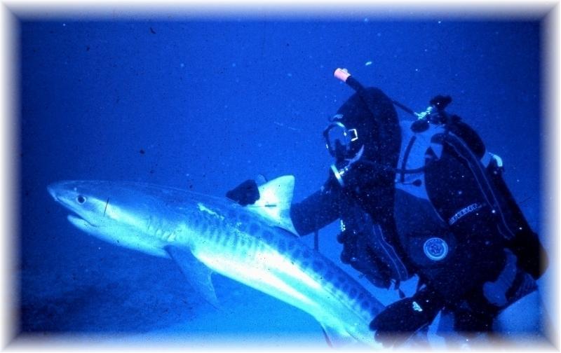Dr. Mann handling a Tiger Shark
