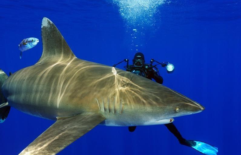 oceanic whitetip shark � quotocean treasuresquot memorial library