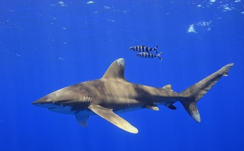 Oceanic Whitetip Shark