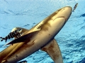 Oceanic Whitetip Shark3