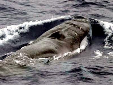 Omura's Whale