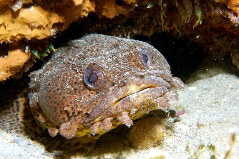 toad fish - photo #19