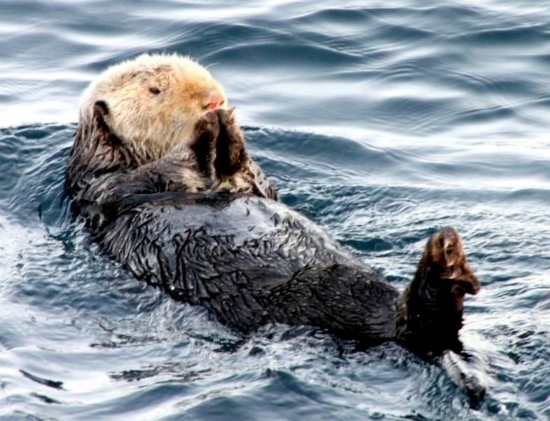 Pacific Sea Otter