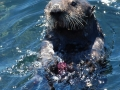 Pacific Sea Otter