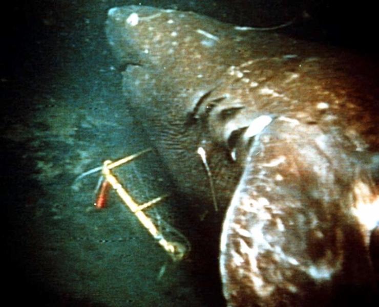 Pacific Sleeper Shark Quot Ocean Treasures Quot Memorial Library