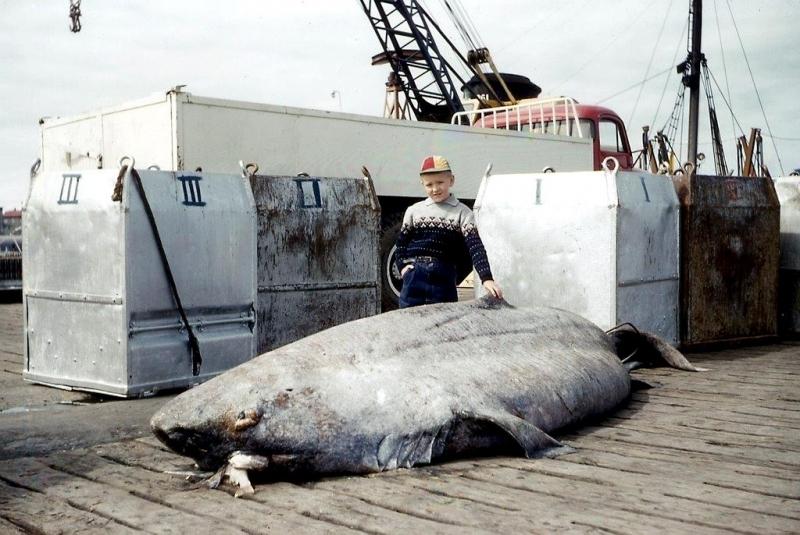 Pacific Sleeper Shark