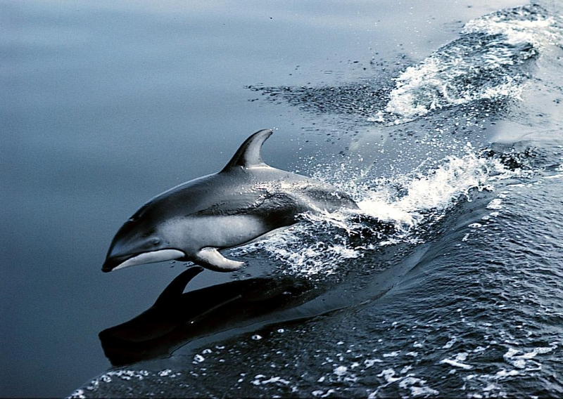 "Pacific White-sided Dolphin – ""OCEAN TREASURES"" Memorial ... - photo#11"