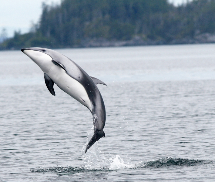 "Pacific White-sided Dolphin – ""OCEAN TREASURES"" Memorial ... - photo#19"