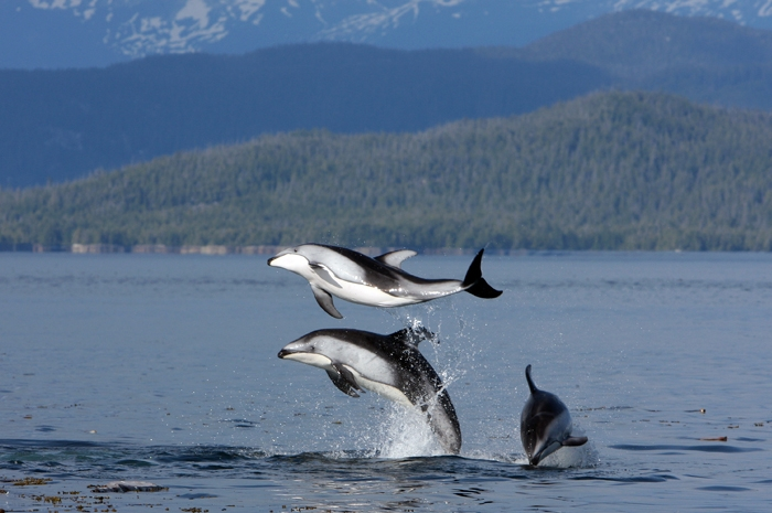 Pacific White-sided Dolphin