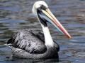 Peruvian Pelican