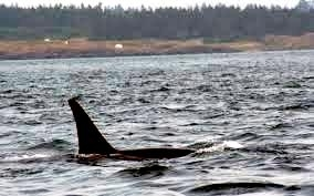 "J-26 ""Mike"" was born in 1991 and is the first offspring of J-16 ""Slick"" and was 23 years old in 2013. He was named after the late Dr. Michael Bigg, who was known as the ""Father of Killer Whale Research"". Mike has 2 living siblings, J-36 ""Alki"" and J-42 ""Echo"" and he is often seen traveling and playing with them. Mike can be identified by his open saddlepatch on both sides of his back."
