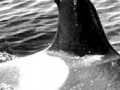Identified in 1971 by Dr. Bigg, was the first whale named in the photo-id study. She was called Stubbs because of her lopped-off dorsal fin and died in 1974.