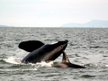 """J-26 """"Mike"""" was born in 1991 and is the first offspring of J-16 """"Slick"""" and was 23 years old in 2013. He was named after the late Dr. Michael Bigg, who was known as the """"Father of Killer Whale Research"""". Mike has 2 living siblings, J-36 """"Alki"""" and J-42 """"Echo"""" and he is often seen traveling and playing with them. Mike can be identified by his open saddlepatch on both sides of his back."""