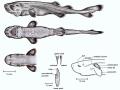 Pocket Shark