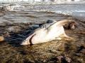 porbeagle-shark
