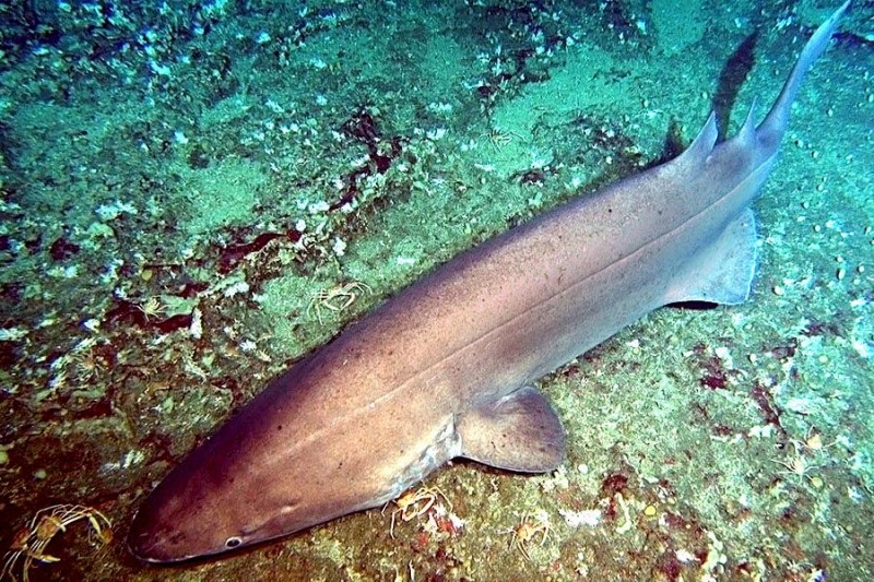 Prickly Shark