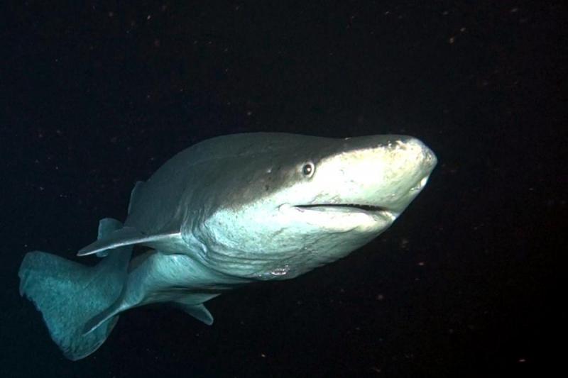 tri001733_prickly-shark-4_c.jpg
