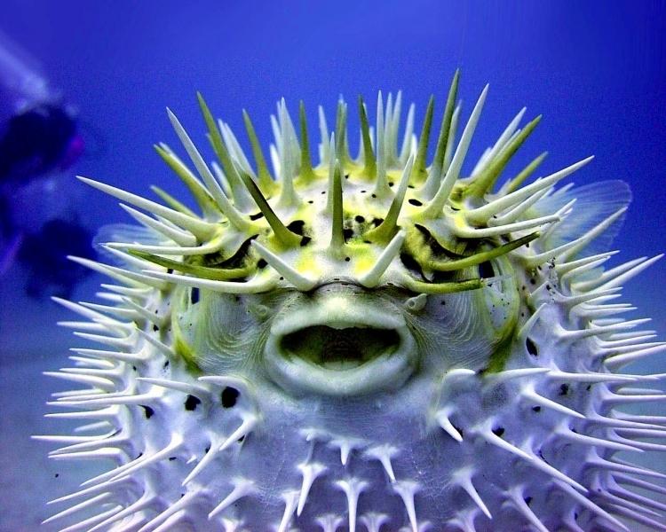 Pufferfish ocean treasures memorial library for Puffer fish habitat