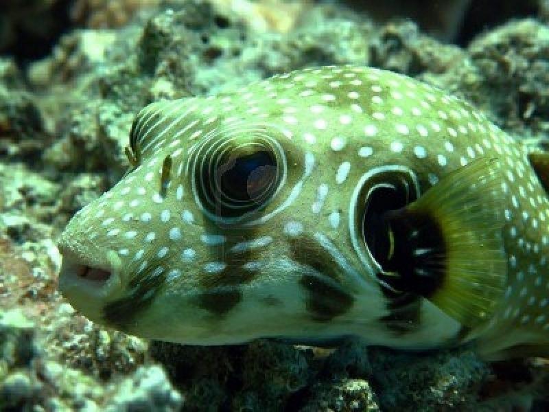 Pufferfish ocean treasures memorial library for Fresh water puffer fish