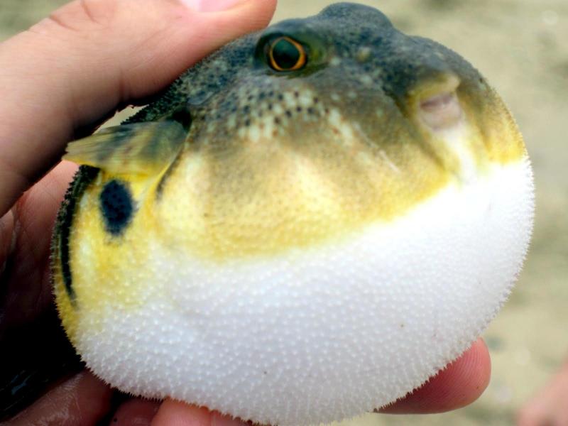 Pufferfish ocean treasures memorial library for Types of puffer fish