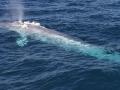 Pygmy Blue Whale