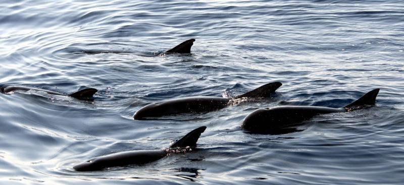 "Pygmy Killer Whale – ""OCEAN TREASURES"" Memorial Library"