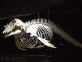 Pygmy Killer Whale
