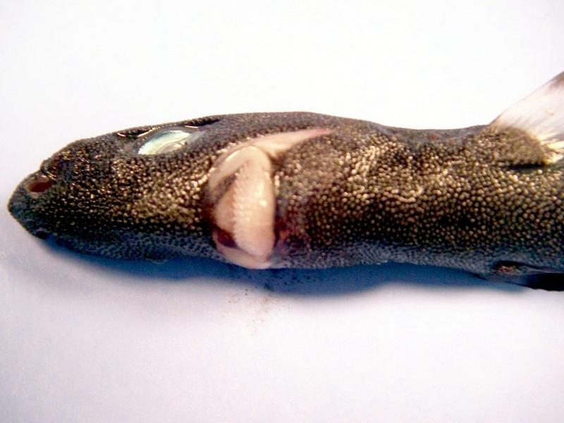 Dwarf lantern shark teeth - photo#12