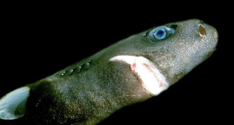 Dwarf lantern shark teeth - photo#21