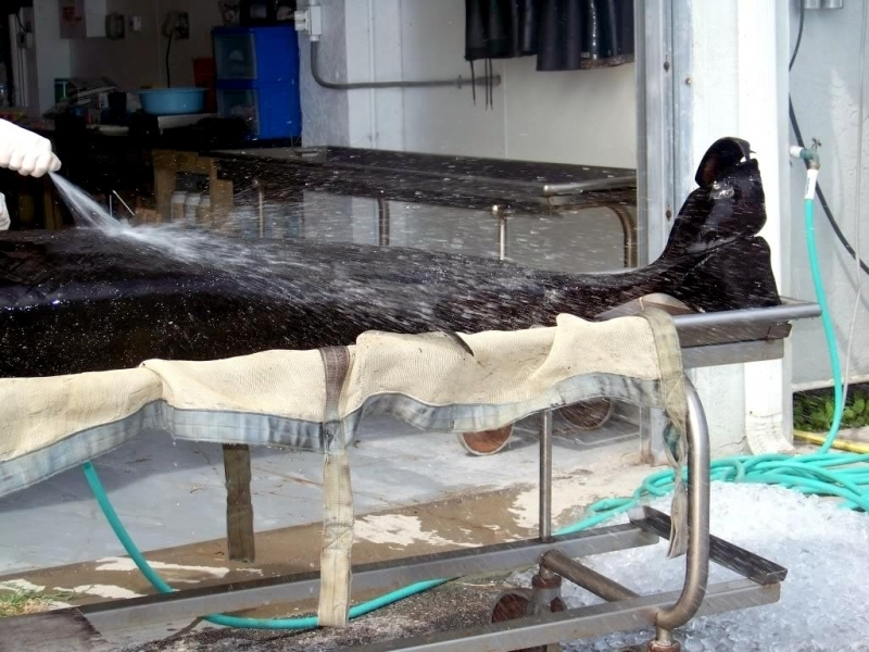 Pygmy Sperm Whale