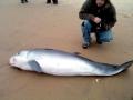 Pygmy-Sperm-Whale-by-Carl-Safina