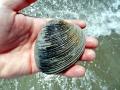 Ocean Quahog