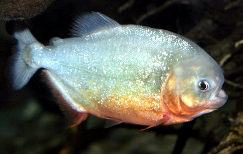 Facts About Red Bellied Piranhas Red Bellied Piranha