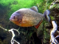 Red-bellied Piranha