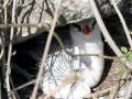 Red-billed Tropicbird