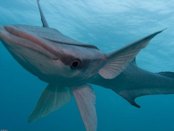 Remora ocean treasures memorial library for Sucker fish food