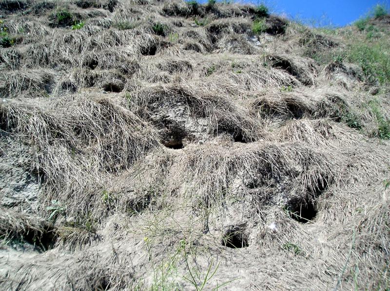 Rhinocéros Auklet