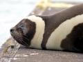 Ribbon Seal