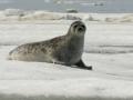 Ringed Seal