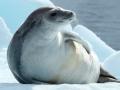 Ross Seal