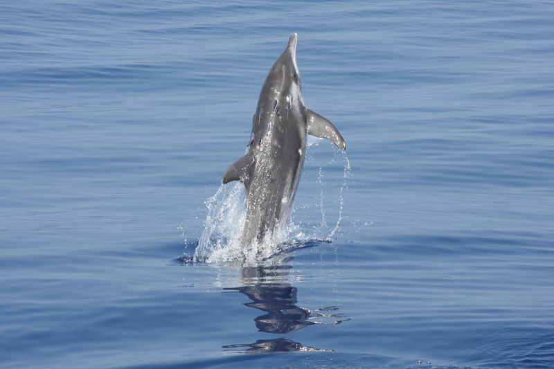 Rough-Toothed Dolphin