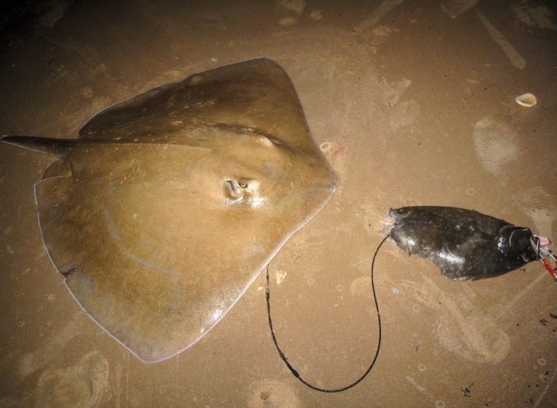Roughtail Stingray