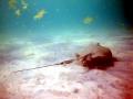 Roughtail Stingray