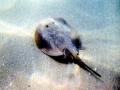 Round Stingray