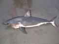 Salmon Shark