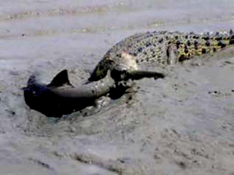 "Saltwater Crocodile – ""OCEAN TREASURES"" Memorial Library"