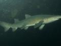 Sand-Tiger Shark